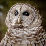 Aurora-Barred Owl