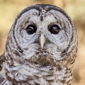 Boris-Barred Owl