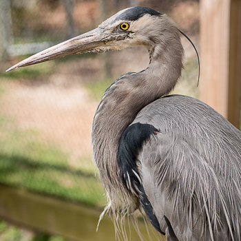 Henrietta-Great-Blue-Heron