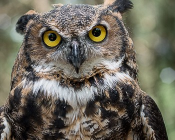 Juniper-Great-Horned-Owl