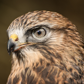 Orion-Rough-legged-Hawk