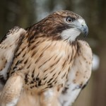 Owwati-Red-tailed-Hawk