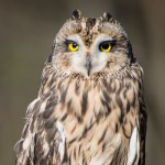 Reeses-Short-eared-Owl